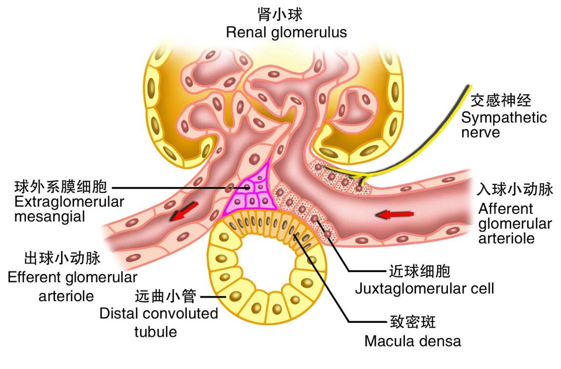 内 小 器官 細胞